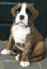 Dog of the Bay's Urban als boxerpup